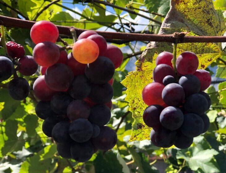 Estudo mostra que Teresina tem potencial para produção de uva