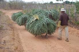 Piauí é o maior produtor de pó de carnaúba do país